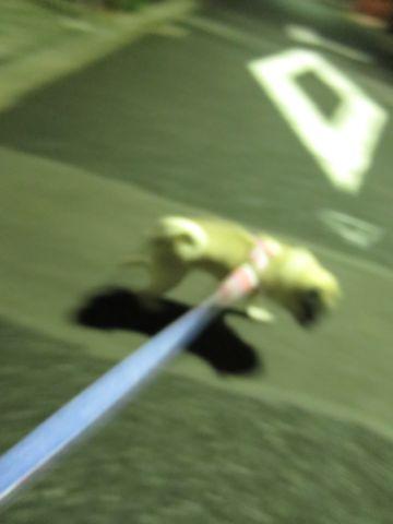 パグペットホテル様子おさんぽ犬おあずかり文京区フントヒュッテ東京パグトリミング画像都内ペットホテル駒込パグ夏注意パグ夏対策短頭種とは22.jpg