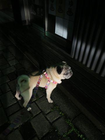 パグペットホテル様子おさんぽ犬おあずかり文京区フントヒュッテ東京パグトリミング画像都内ペットホテル駒込パグ夏注意パグ夏対策短頭種とは37.jpg