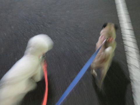パグペットホテル様子おさんぽ犬おあずかり文京区フントヒュッテ東京パグトリミング画像都内ペットホテル駒込パグ夏注意パグ夏対策短頭種とは52.jpg