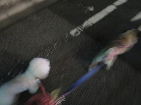 ビションフリーゼペットホテル様子おさんぽ犬おあずかり文京区フントヒュッテ東京ビションフリーゼトリミングカットモデル画像都内ペットホテル駒込_14.jpg