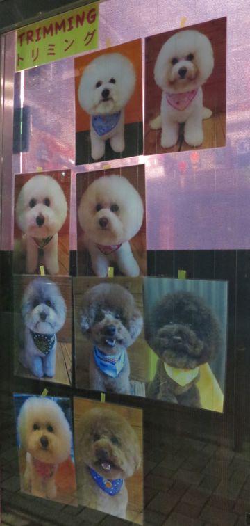 トリミングカットスタイル画像フントヒュッテ文京区犬カットモデル東京トイプードルカットスタイルビションフリーゼカット画像トイプーのビションカット駒込_5.jpg