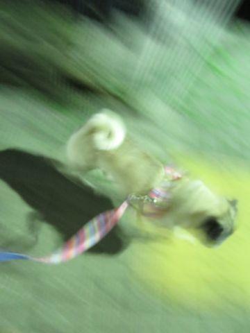 パグペットホテル様子おさんぽ犬おあずかり文京区フントヒュッテ東京パグトリミング画像都内ペットホテル駒込パグ夏注意パグ夏対策短頭種とは_2_19.jpg