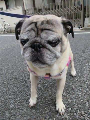 パグペットホテル様子おさんぽ犬おあずかり文京区フントヒュッテ東京パグトリミング画像都内ペットホテル駒込パグ夏注意パグ夏対策短頭種とは_2_33.jpg