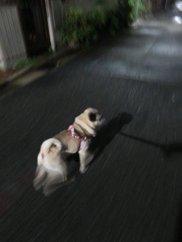 パグペットホテル様子おさんぽ犬おあずかり文京区フントヒュッテ東京パグトリミング画像都内ペットホテル駒込パグ夏注意パグ夏対策短頭種とは_2_36.jpg