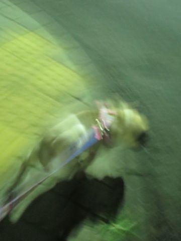 パグペットホテル様子おさんぽ犬おあずかり文京区フントヒュッテ東京パグトリミング画像都内ペットホテル駒込パグ夏注意パグ夏対策短頭種とは_2_52.jpg