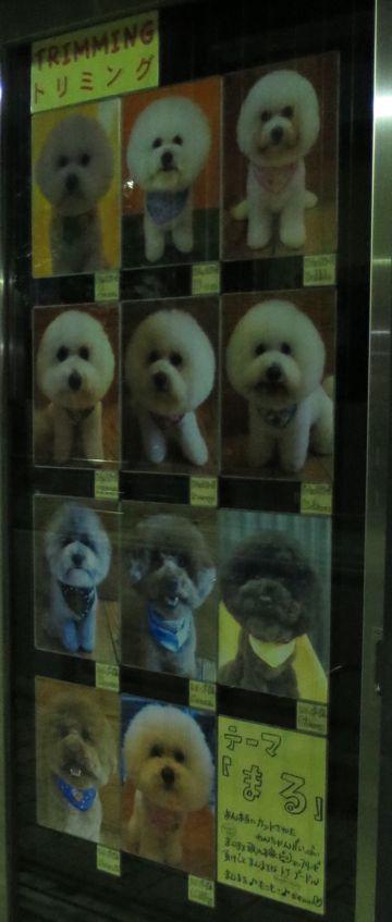 トリミングカットスタイル画像フントヒュッテ文京区犬カットモデル東京トイプードルカットスタイルビションフリーゼカット画像トイプーのビションカット駒込_8.jpg
