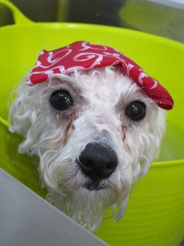 ビションフリーゼトリミング文京区フントヒュッテビショントリミング東京ビションフリーゼカットスタイルモデル犬ビションフリーゼ画像駒込子犬こいぬ56.jpg