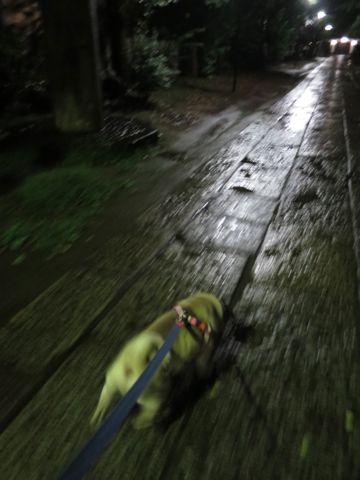 パグペットホテル様子おさんぽ犬おあずかり文京区フントヒュッテ東京パグトリミング画像都内ペットホテル駒込パグ夏注意パグ夏対策短頭種とは_2_93.jpg