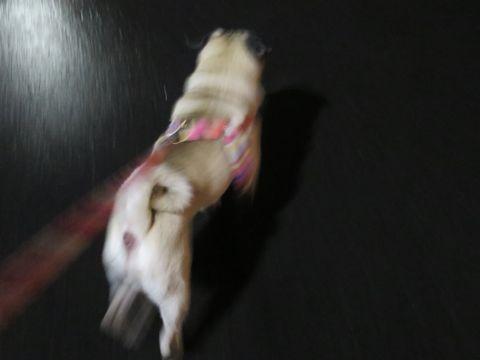 パグペットホテル様子おさんぽ犬おあずかり文京区フントヒュッテ東京パグトリミング画像都内ペットホテル駒込パグ夏注意パグ夏対策短頭種とは_2_129.jpg