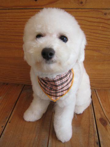 ビションフリーゼ駒込トリミング東京フントヒュッテ文京区かわいいビションこいぬトリミング時期子犬ビションフリーゼテディベアカット画像_1.jpg
