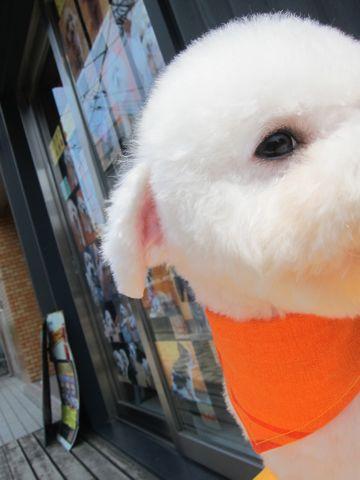 ビションフリーゼ駒込トリミング東京フントヒュッテ文京区かわいいビションこいぬトリミング時期子犬ビションフリーゼテディベアカット画像_2.jpg