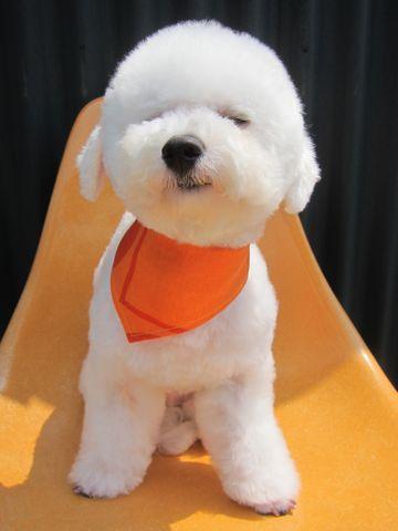 ビションフリーゼ駒込トリミング東京フントヒュッテ文京区かわいいビションこいぬトリミング時期子犬ビションフリーゼテディベアカット画像_3.jpg