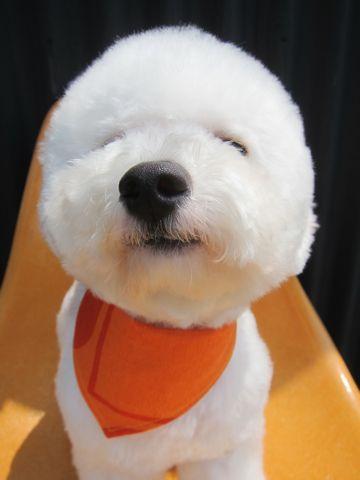 ビションフリーゼ駒込トリミング東京フントヒュッテ文京区かわいいビションこいぬトリミング時期子犬ビションフリーゼテディベアカット画像_4.jpg