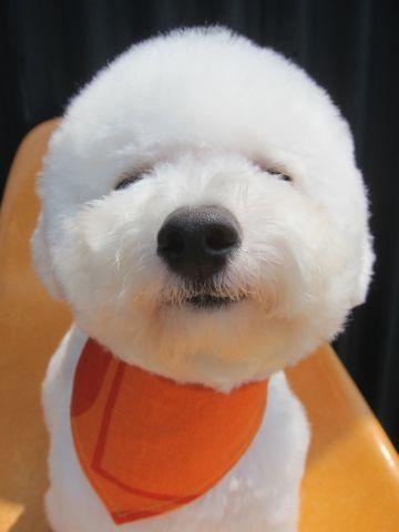 ビションフリーゼ駒込トリミング東京フントヒュッテ文京区かわいいビションこいぬトリミング時期子犬ビションフリーゼテディベアカット画像_5.jpg