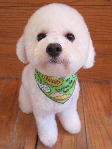 ビションフリーゼ駒込トリミング東京フントヒュッテ文京区かわいいビションこいぬトリミング時期子犬ビションフリーゼテディベアカット画像_10.jpg