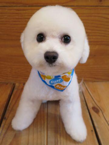 ビションフリーゼ駒込トリミング東京フントヒュッテ文京区かわいいビションこいぬトリミング時期子犬ビションフリーゼテディベアカット画像_13.jpg