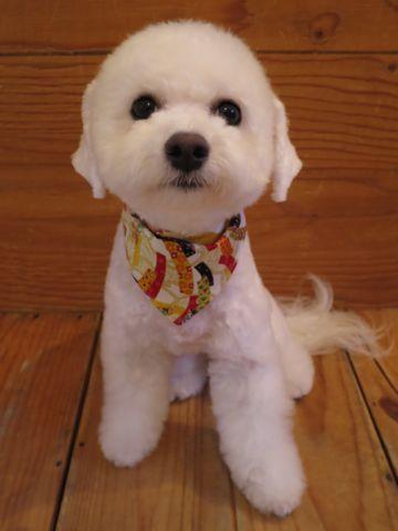ビションフリーゼ駒込トリミング東京フントヒュッテ文京区かわいいビションこいぬトリミング時期子犬ビションフリーゼテディベアカット画像_14.jpg