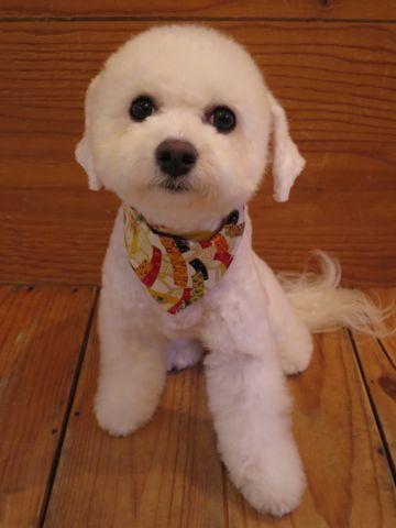 ビションフリーゼ駒込トリミング東京フントヒュッテ文京区かわいいビションこいぬトリミング時期子犬ビションフリーゼテディベアカット画像_15.jpg