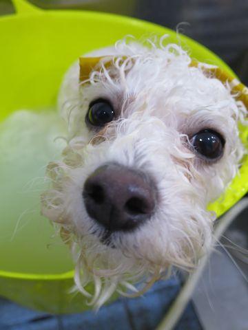 ビションフリーゼ駒込トリミング東京フントヒュッテ文京区かわいいビションこいぬトリミング時期子犬ビションフリーゼテディベアカット画像_20.jpg