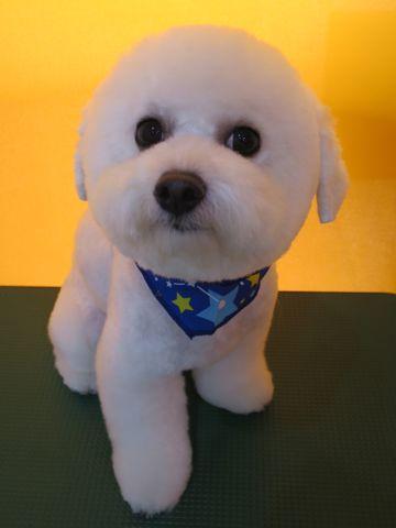 ビションフリーゼ駒込トリミング東京フントヒュッテ文京区かわいいビションこいぬトリミング時期子犬ビションフリーゼテディベアカット画像_25.jpg