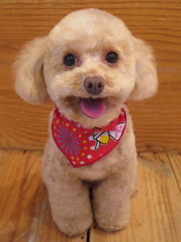 トイプードルトリミング文京区フントヒュッテ駒込テディベアカットトイプー東京かわいいトイプードル画像トイプードルカットモデル写真関東Toy Poodle31.jpg