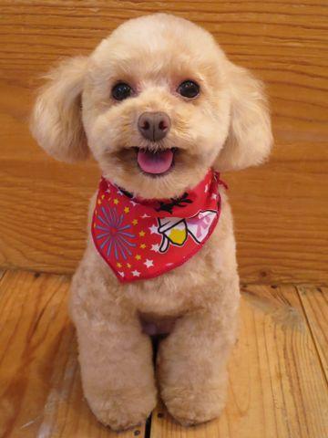 トイプードルトリミング文京区フントヒュッテ駒込テディベアカットトイプー東京かわいいトイプードル画像トイプードルカットモデル写真関東Toy Poodle32.jpg