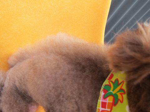 トイ・プードルモヒカン画像トイプードルトリミング文京区フントヒュッテ東京トイプードルデザインカットモデルドラゴン鬣かっこいいモヒカン犬駒込_5.jpg