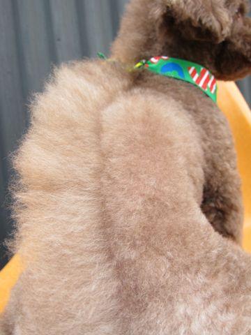トイ・プードルモヒカン画像トイプードルトリミング文京区フントヒュッテ東京トイプードルデザインカットモデルドラゴン鬣かっこいいモヒカン犬駒込_6.jpg