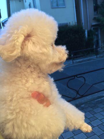 トイ・プードルペットホテル様子おさんぽ犬おあずかり文京区フントヒュッテ東京トイプードルホワイト画像都内ペットホテル駒込トイプーホワイト性格1.jpg