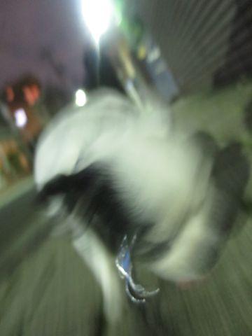 ホテル犬ペットホテル駒込フントヒュッテ文京区犬おあずかりシーズーダックスチワワ多頭飼い東京ペットホテル様子犬オスマナーベルトおすすめ画像都内おさんぽ_21.jpg