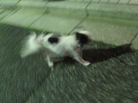 ホテル犬ペットホテル駒込フントヒュッテ文京区犬おあずかりシーズーダックスチワワ多頭飼い東京ペットホテル様子犬オスマナーベルトおすすめ画像都内おさんぽ_26.jpg