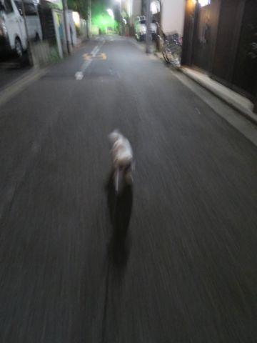 ホテル犬ペットホテル駒込フントヒュッテ文京区犬おあずかりシーズーダックスチワワ多頭飼い東京ペットホテル様子犬オスマナーベルトおすすめ画像都内おさんぽ_56.jpg