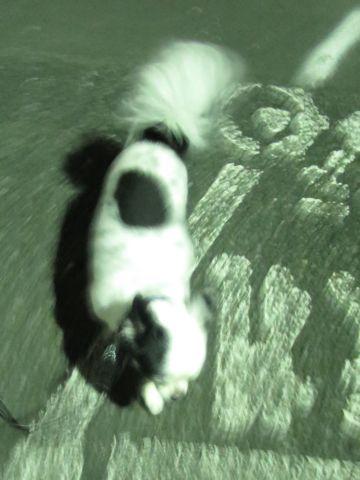 ホテル犬ペットホテル駒込フントヒュッテ文京区犬おあずかりシーズーダックスチワワ多頭飼い東京ペットホテル様子犬オスマナーベルトおすすめ画像都内おさんぽ_74.jpg