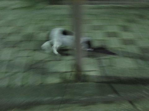 ホテル犬ペットホテル駒込フントヒュッテ文京区犬おあずかりシーズーダックスチワワ多頭飼い東京ペットホテル様子犬オスマナーベルトおすすめ画像都内おさんぽ_75.jpg