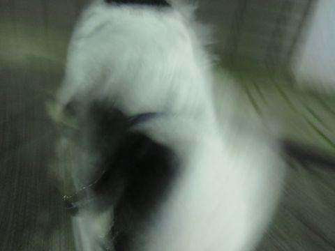 ホテル犬ペットホテル駒込フントヒュッテ文京区犬おあずかりシーズーダックスチワワ多頭飼い東京ペットホテル様子犬オスマナーベルトおすすめ画像都内おさんぽ_76.jpg