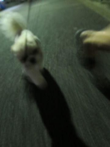 ホテル犬ペットホテル駒込フントヒュッテ文京区犬おあずかりシーズーダックスチワワ多頭飼い東京ペットホテル様子犬オスマナーベルトおすすめ画像都内おさんぽ_125.jpg