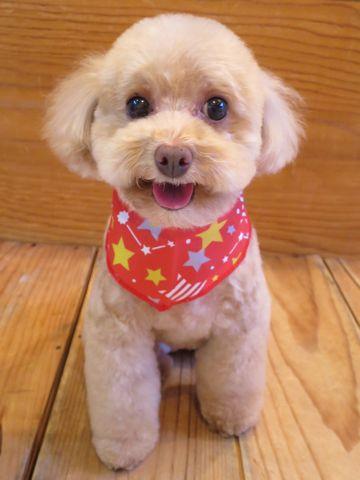 トイプードルトリミング文京区フントヒュッテ駒込テディベアカットトイプー東京かわいいトイプードル画像トイプードルカットモデル写真関東Toy Poodle36.jpg