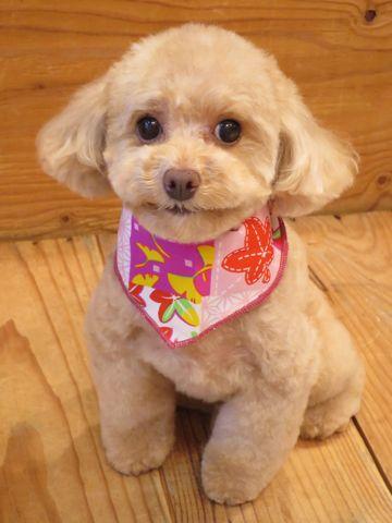 トイプードルトリミング文京区フントヒュッテ駒込テディベアカットトイプー東京かわいいトイプードル画像トイプードルカットモデル写真関東Toy Poodle37.jpg