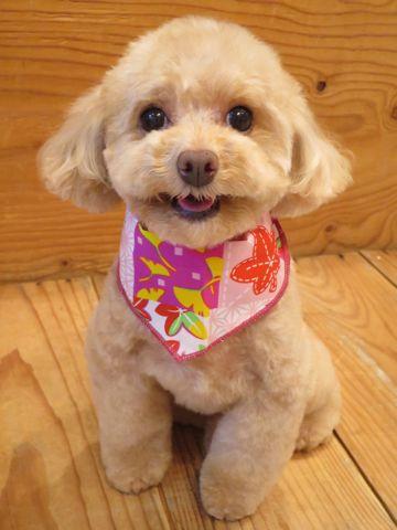 トイプードルトリミング文京区フントヒュッテ駒込テディベアカットトイプー東京かわいいトイプードル画像トイプードルカットモデル写真関東Toy Poodle38.jpg