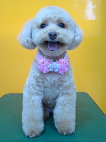 トイプードルトリミング文京区フントヒュッテ駒込テディベアカットトイプー東京かわいいトイプードル画像トイプードルカットモデル写真関東Toy Poodle39.jpg