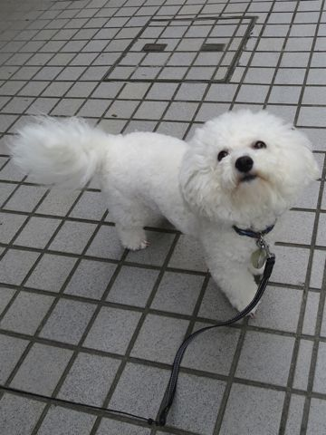 ビションフリーゼトリミング文京区フントヒュッテビショントリミング東京ビションフリーゼカットスタイルモデル犬ビションフリーゼ画像駒込子犬こいぬ60.jpg