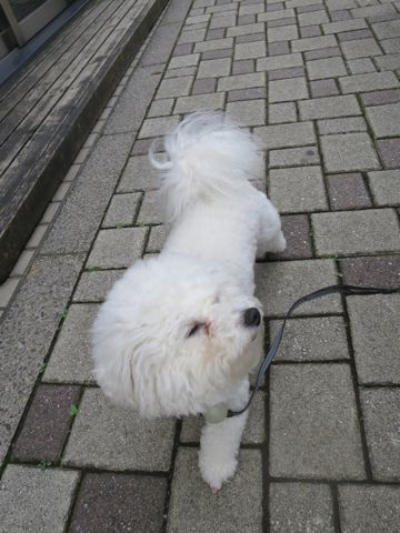 ビションフリーゼトリミング文京区フントヒュッテビショントリミング東京ビションフリーゼカットスタイルモデル犬ビションフリーゼ画像駒込子犬こいぬ61.jpg