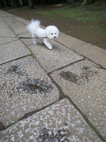 ビションフリーゼトリミング文京区フントヒュッテビショントリミング東京ビションフリーゼカットスタイルモデル犬ビションフリーゼ画像駒込子犬こいぬ63.jpg