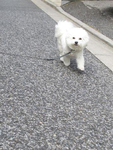ビションフリーゼトリミング文京区フントヒュッテビショントリミング東京ビションフリーゼカットスタイルモデル犬ビションフリーゼ画像駒込子犬こいぬ65.jpg