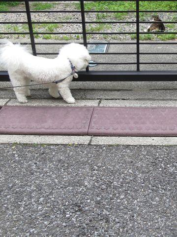 ビションフリーゼトリミング文京区フントヒュッテビショントリミング東京ビションフリーゼカットスタイルモデル犬ビションフリーゼ画像駒込子犬こいぬ67.jpg