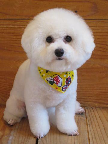 ビションフリーゼトリミング文京区フントヒュッテビショントリミング東京ビションフリーゼカットスタイルモデル犬ビションフリーゼ画像駒込子犬こいぬ68.jpg