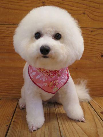 ビションフリーゼトリミング文京区フントヒュッテ駒込ビショントリミング東京ビションフリーゼカットスタイルモデル犬かわいいビションフリーゼ画像hundehutte_1.jpg