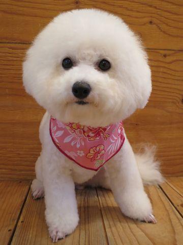 ビションフリーゼトリミング文京区フントヒュッテ駒込ビショントリミング東京ビションフリーゼカットスタイルモデル犬かわいいビションフリーゼ画像hundehutte_2.jpg