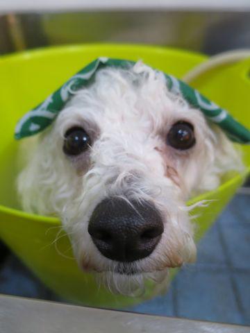 ビションフリーゼトリミング文京区フントヒュッテ駒込ビショントリミング東京ビションフリーゼカットスタイルモデル犬かわいいビションフリーゼ画像hundehutte_3.jpg