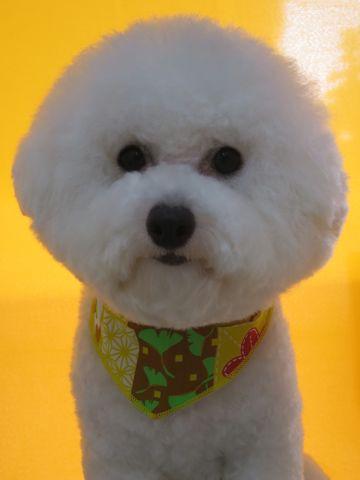 ビションフリーゼトリミング文京区フントヒュッテ駒込ビショントリミング東京ビションフリーゼカットスタイルモデル犬かわいいビションフリーゼ画像hundehutte_5.jpg